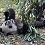 Insolite en Chine: panda meeting in Chengdu
