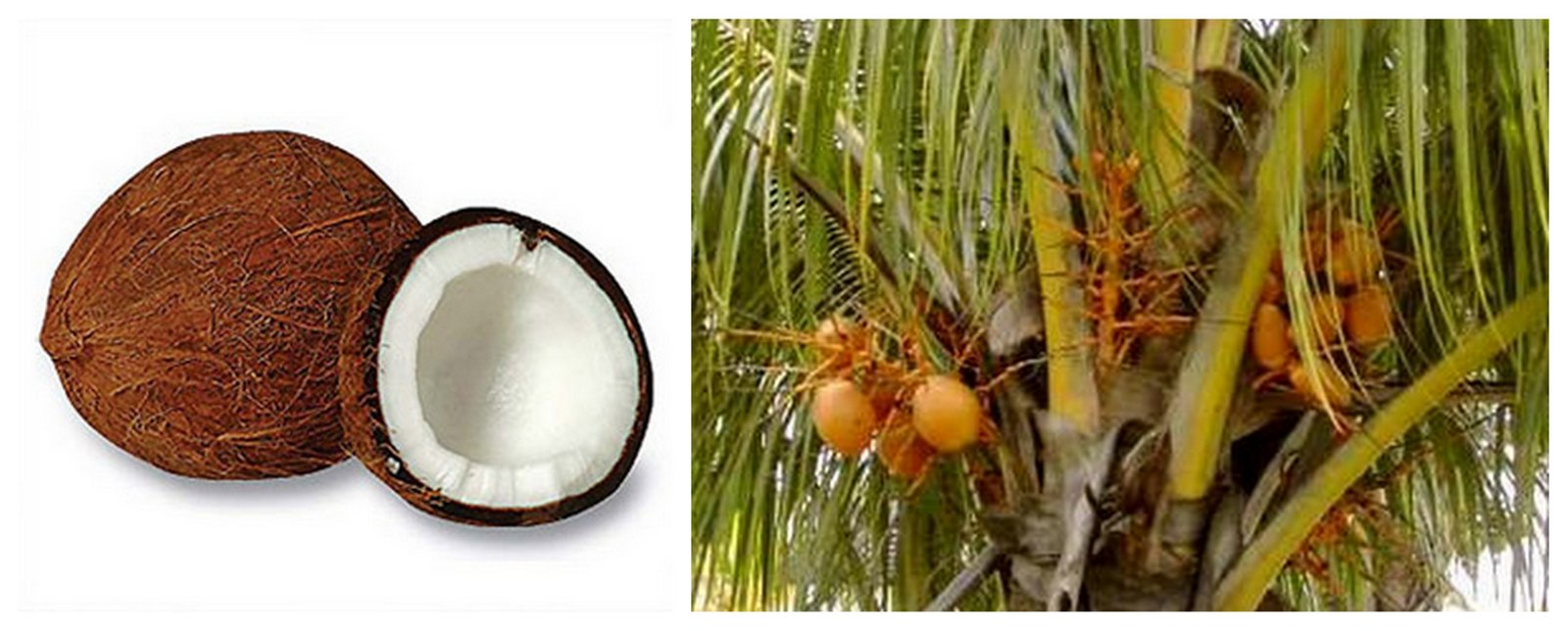 noix de coco thaïlande