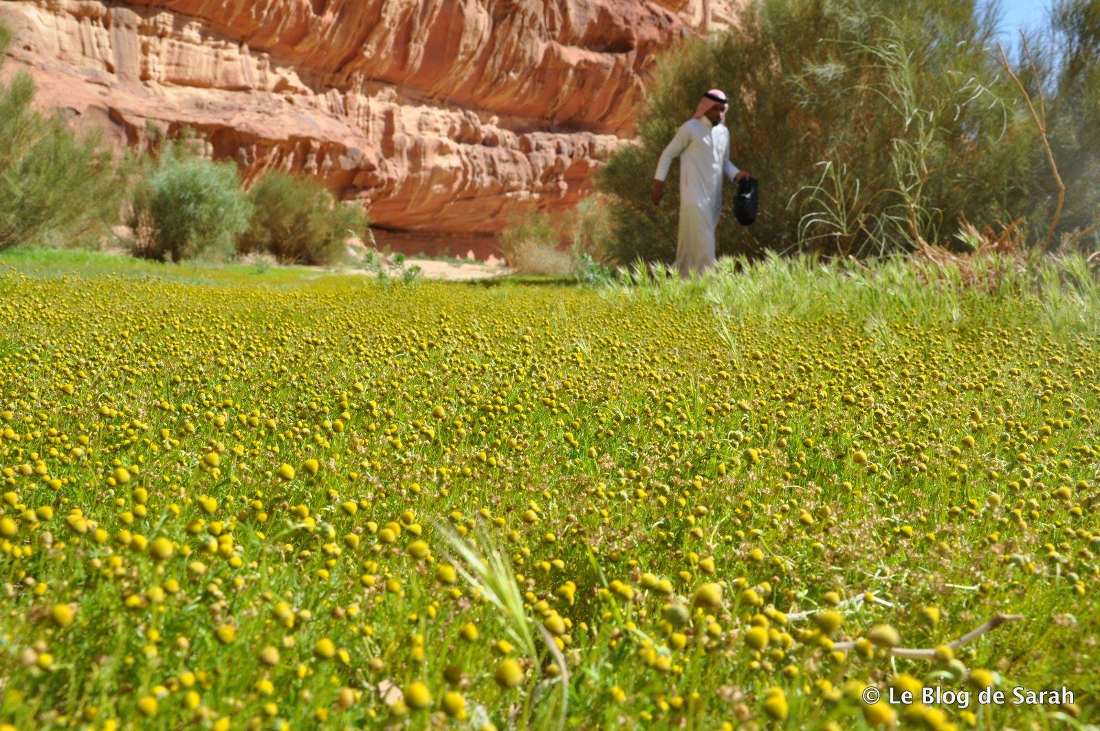Notre guide bédouin cueille des fleurs de camomille dans une oasis de verdure en plein désert