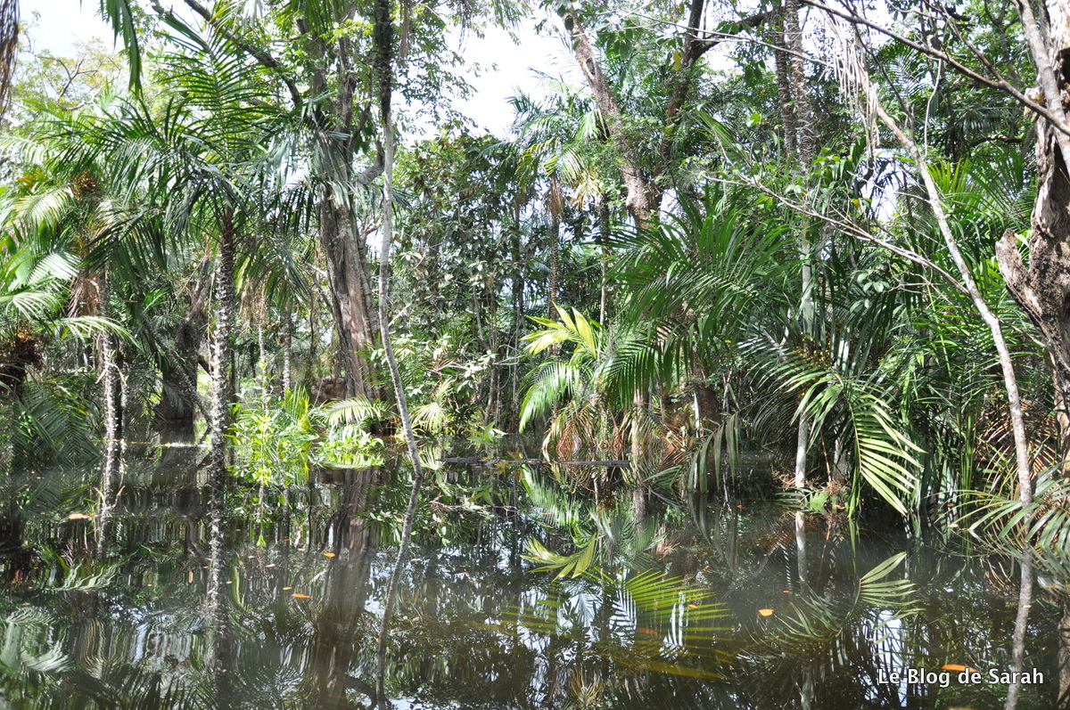 La jungle inondée d'Amazonie près d'Alter-do-Chao