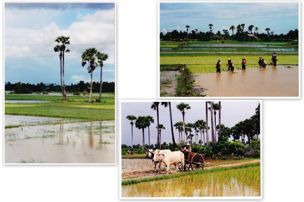 voyage cambodge rizieres