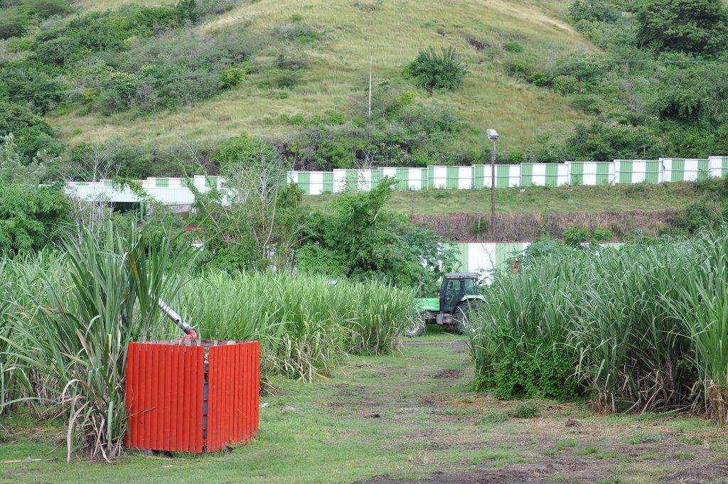 Plantation de canne à sucre à la distillerie Neisson
