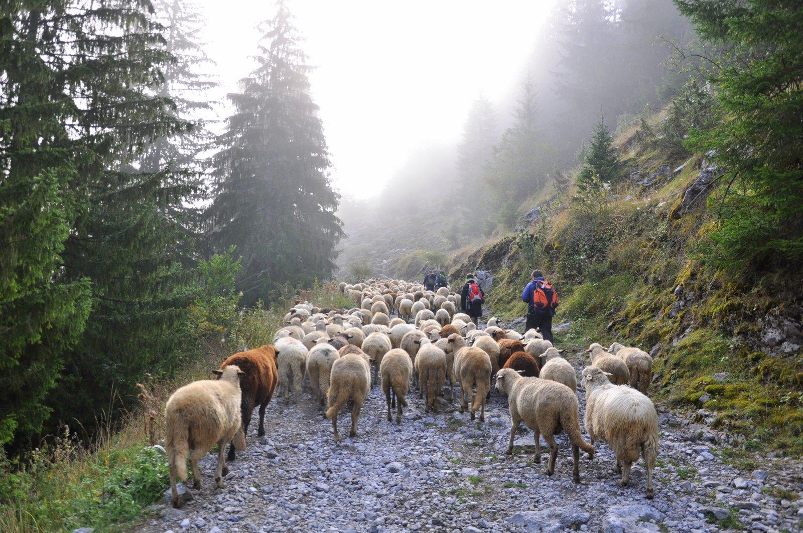 randonne-pied-bulgarie-moutons