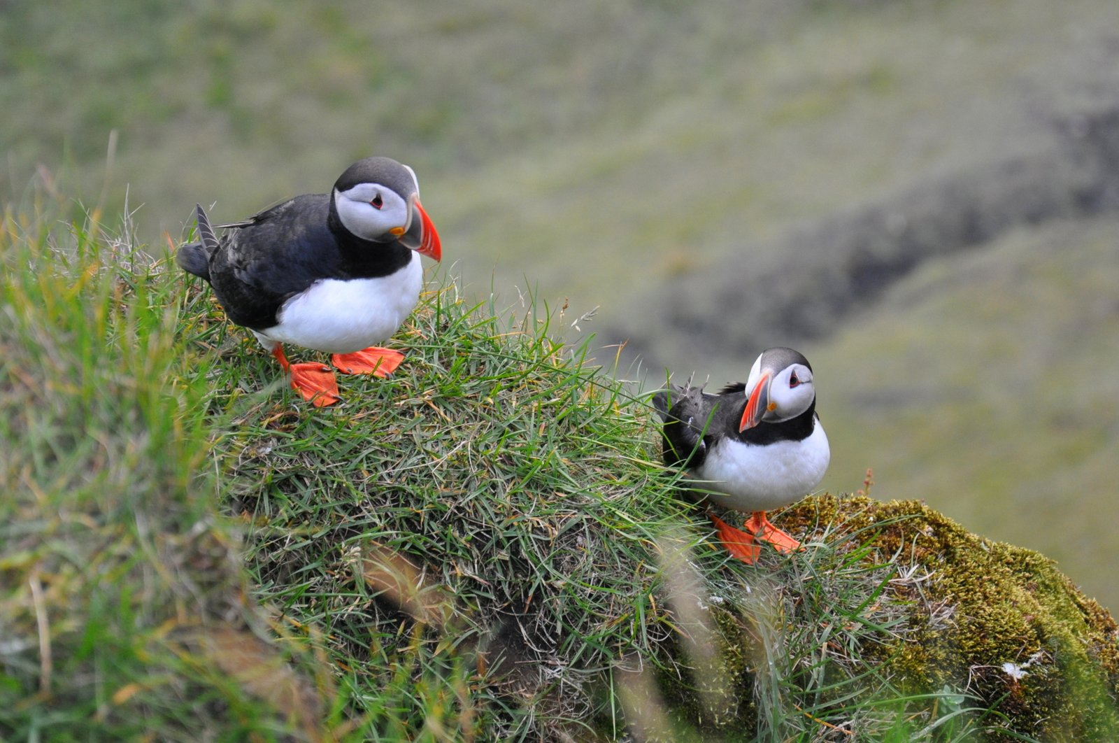 Des macareux sur les falaises près de Vik en Islande