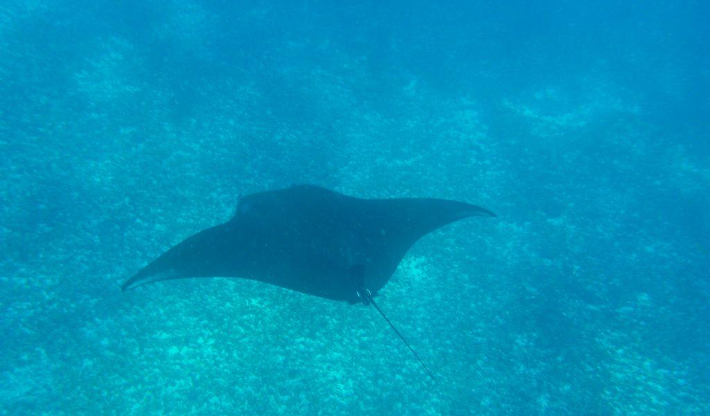 Snorkeling avec une raie manta en Indonésie. Crédit photo: Lucie Aidart, Voyages et Vagabondages
