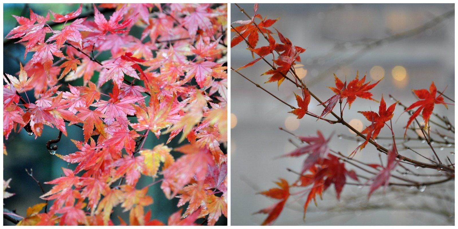 Couleur d'automne pour les érables japonais sur les bords du lac à Yufuin