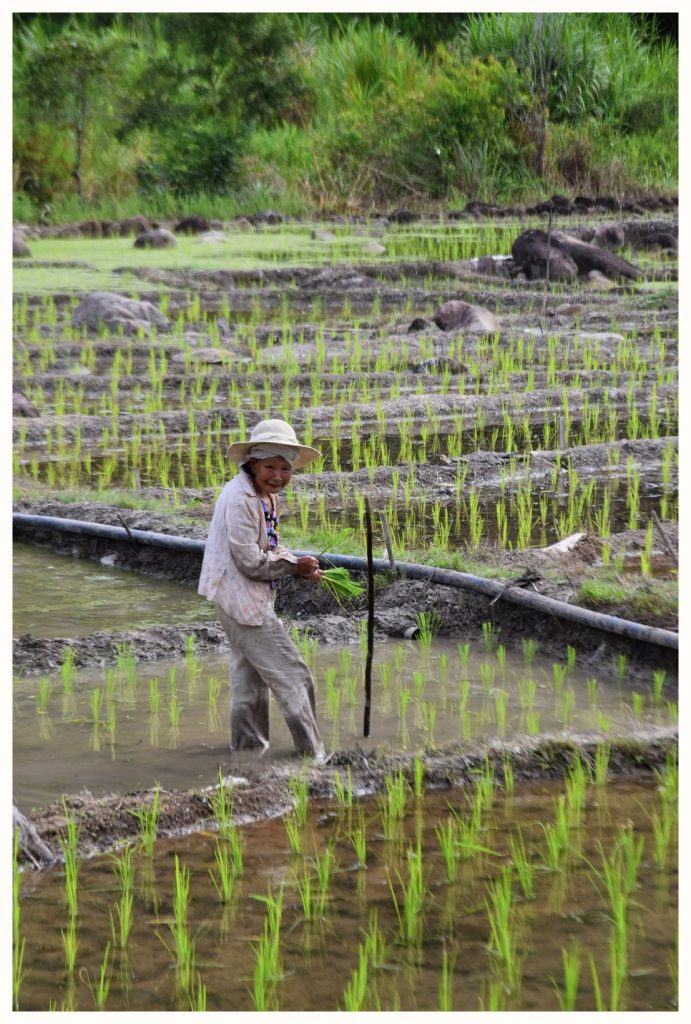 Une femme au travail dans une rizière de Malaisie à Bornéo