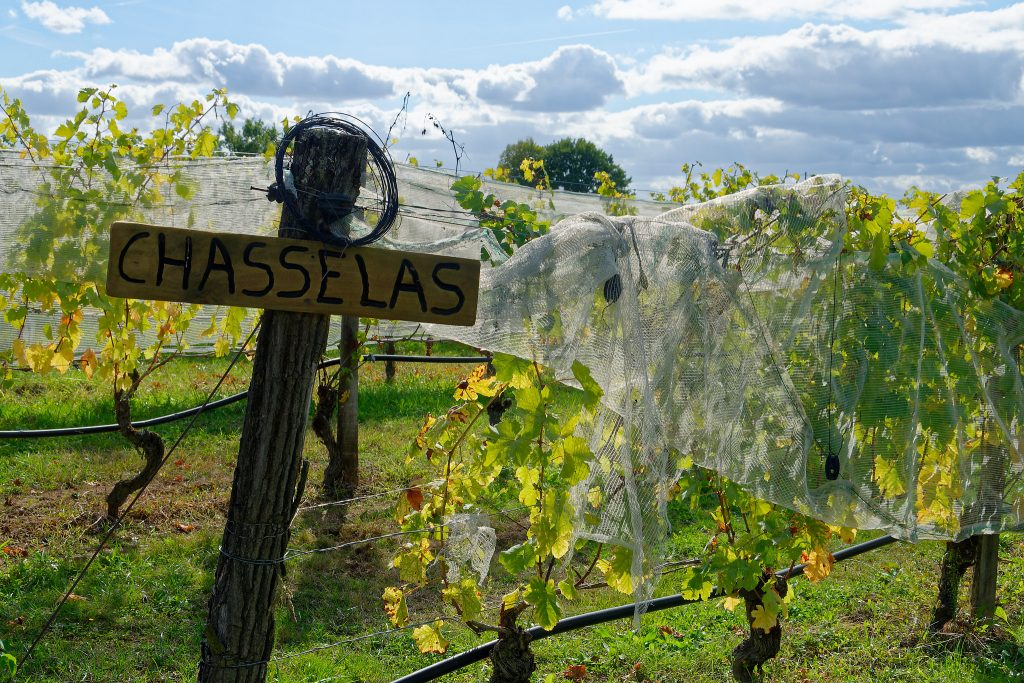 Vignes de chasselas à Moissac